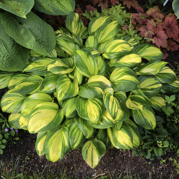 <em>Hosta</em> 'Rainbow's End'