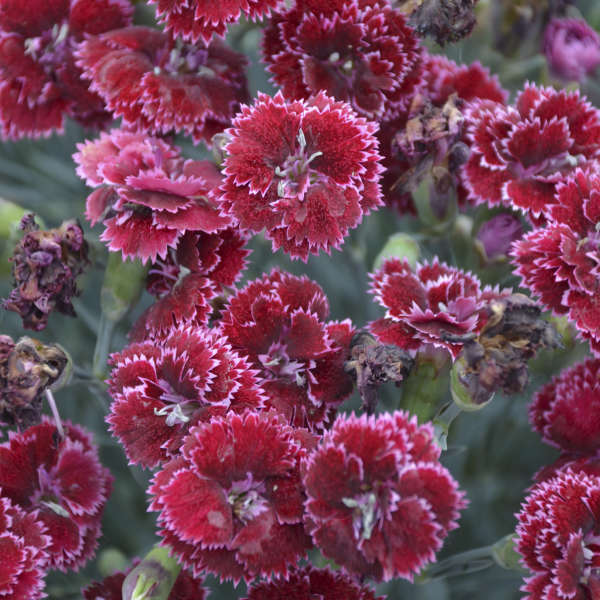 <em>Dianthus</em> FRUIT PUNCH® 'Black Cherry Frost'