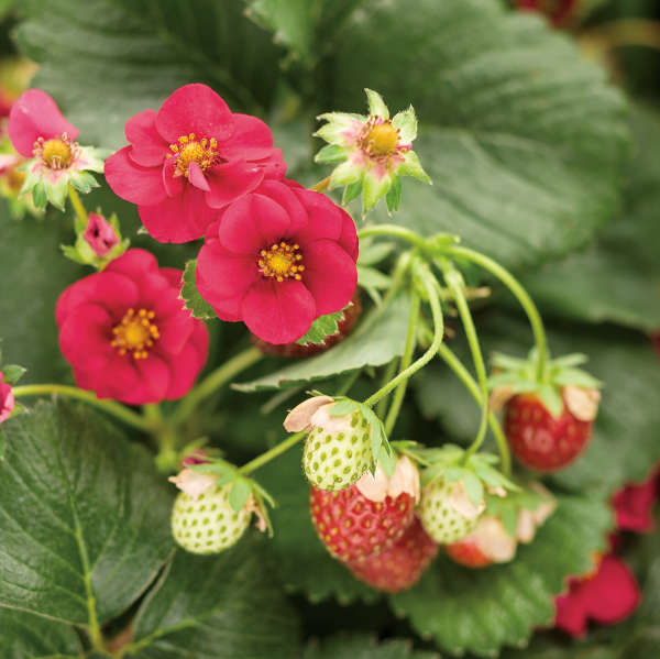 Fragaria BERRIED TREASURE™ Red (Strawberry)
