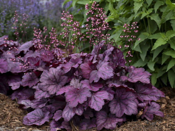 New Proven Winners® Perennials for 2018