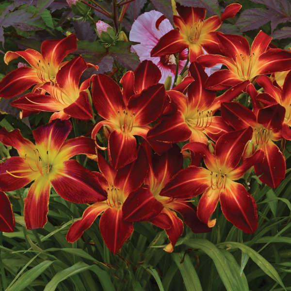 <em>Hemerocallis</em> RAINBOW RHYTHM® 'Ruby Spider'