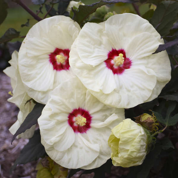 SUMMERIFIC® 'French Vanilla' <em>Hibiscus</em>