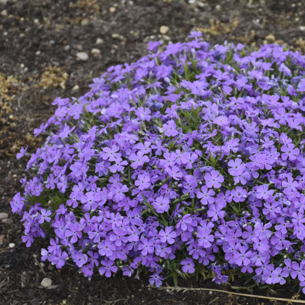 MOUNTAINSIDE™ 'Crater Lake' <em>Hybrid Spring Phlox</em>
