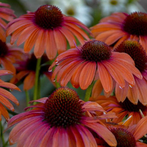 COLOR CODED™ 'Orange You Awesome' <em>Echinacea</em>