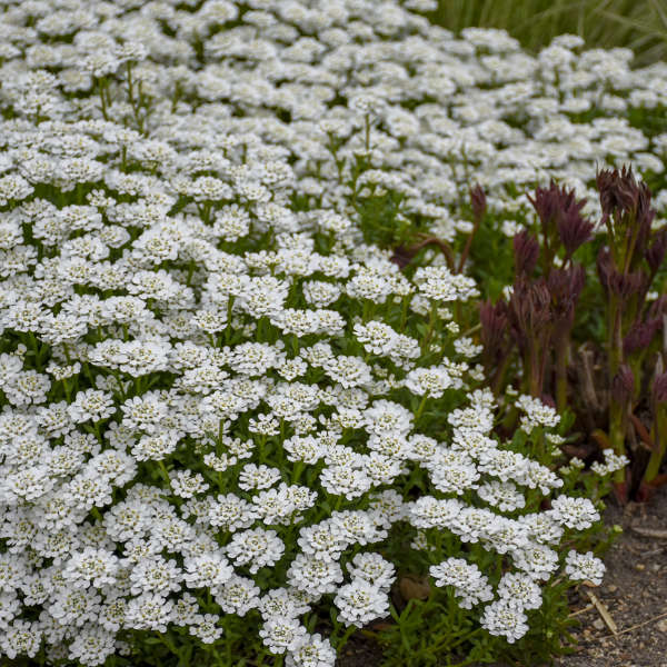 Photo Essay Extremely Cold Hardy Perennials Perennial Resource