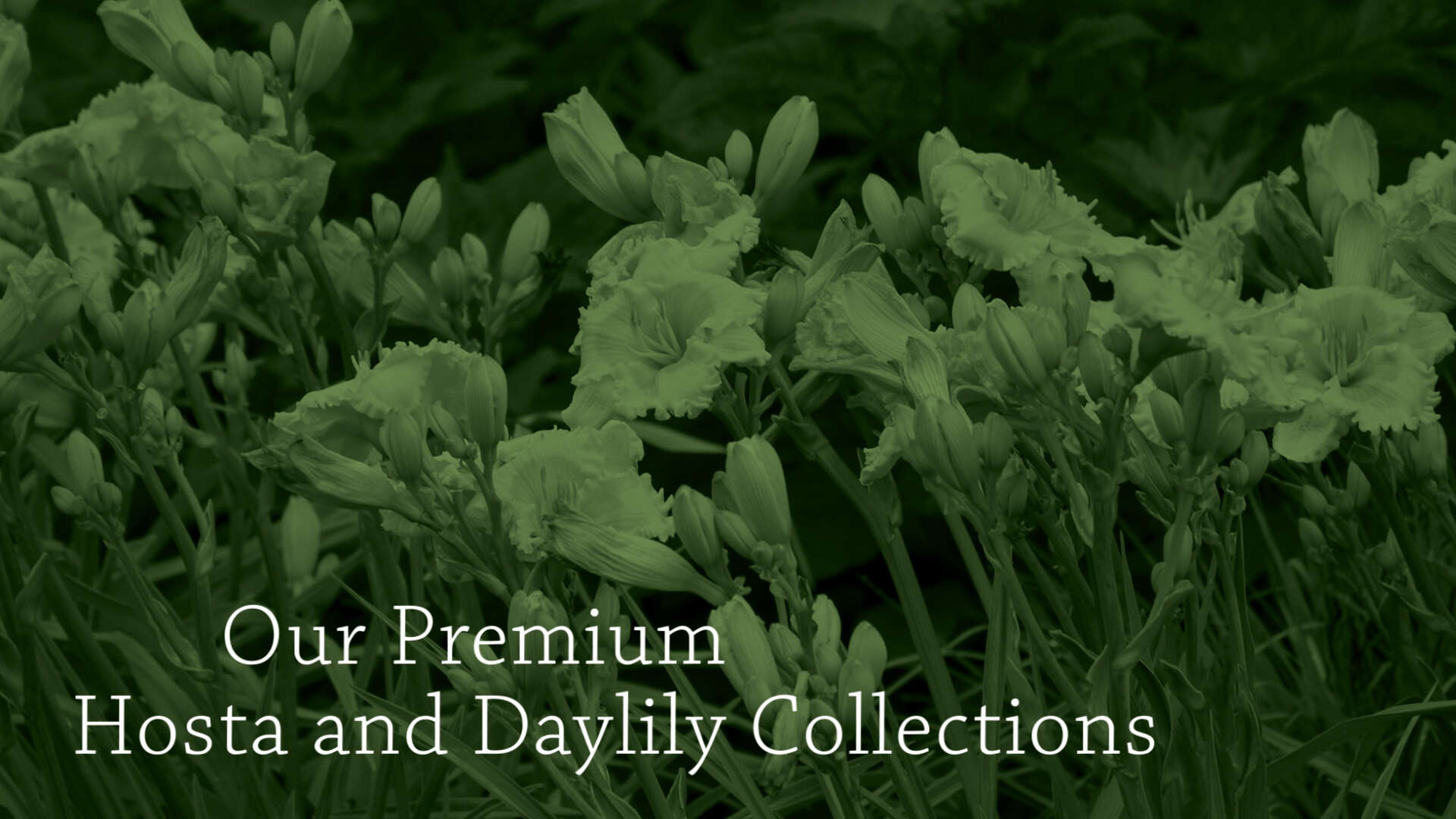 Premium Hosta and Daylily Programs