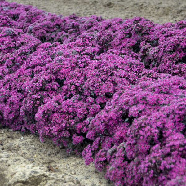 <em>Sedum</em> ROCK 'N GROW® 'Superstar'