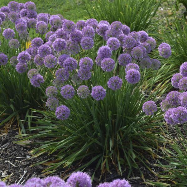 'Serendipity' <em>Allium</em>
