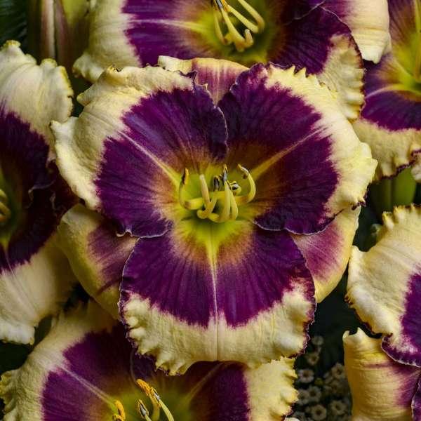 <em>Hemerocallis</em> 'Blackthorne'