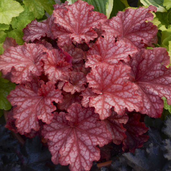 Heuchera PRIMO™ 'Peachberry Ice'