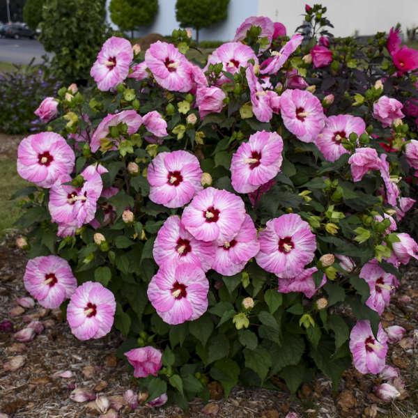 <i>Hibiscus</i> SUMMERIFIC® 'Spinderella'