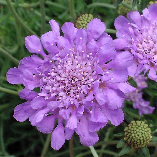 2000 - <i>Scabiosa columbaria</i> 'Butterfly Blue'