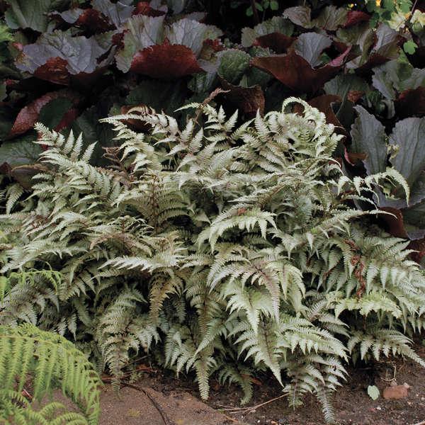 2004 - <i>Athyrium niponicum</i> 'Pictum'