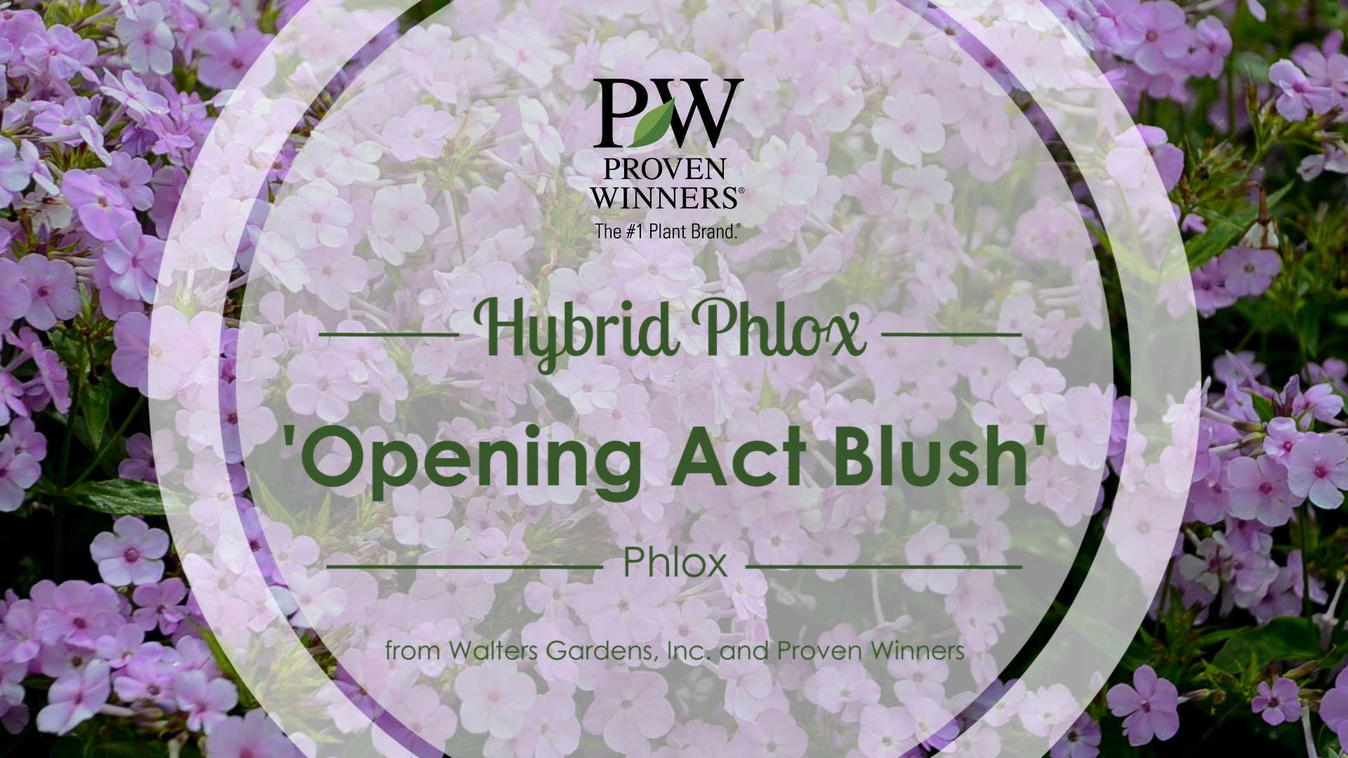 Phlox 'Opening Act Blush' Hybrid Phlox