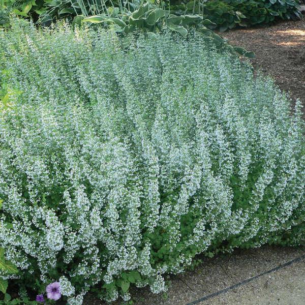 2021 - <em>Calamintha nepeta</em> ssp. <em>nepeta</em>
