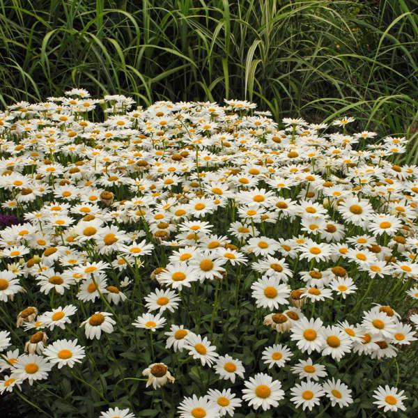 2003 - <i>Leucanthemum superbum</i> 'Becky'