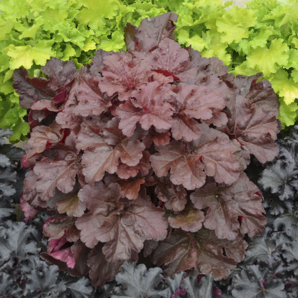 Heuchera PRIMO™ 'Mahogany Monster'