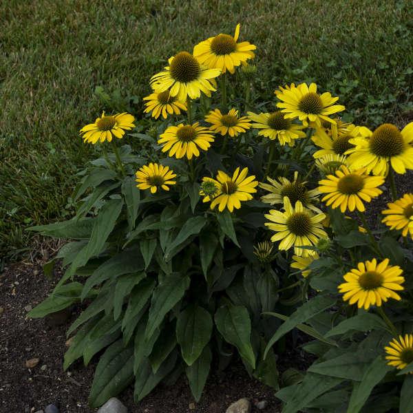 COLOR CODED™ 'Yellow My Darling' <em>Echinacea</em>