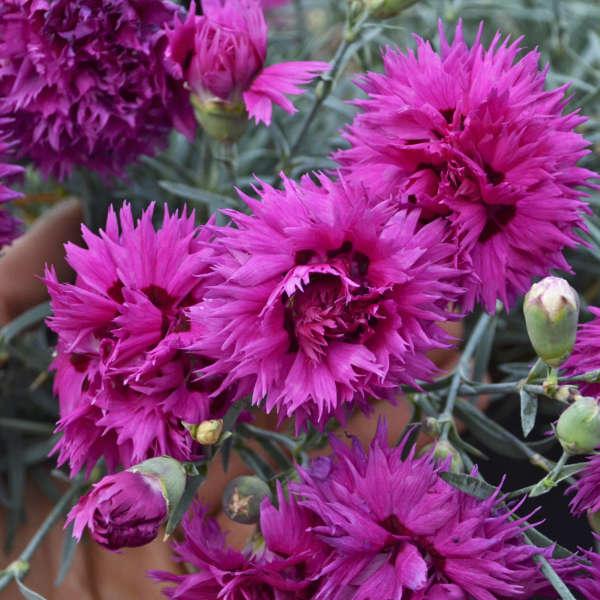 <em>Dianthus</em> FRUIT PUNCH® 'Spiked Punch'