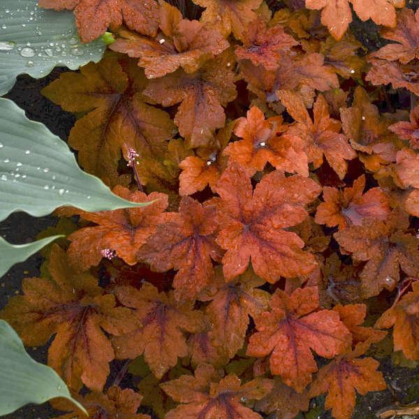 <em>Heucherella</em> 'Pumpkin Spice'