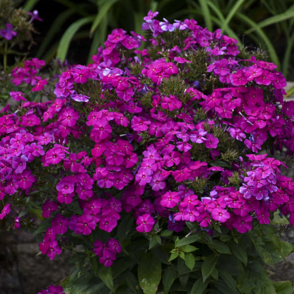 <i>Phlox paniculata</i> LUMINARY™ 'Ultraviolet'