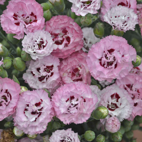 PRETTY POPPERS® 'Appleblossom Burst' <em>Dianthus</em>