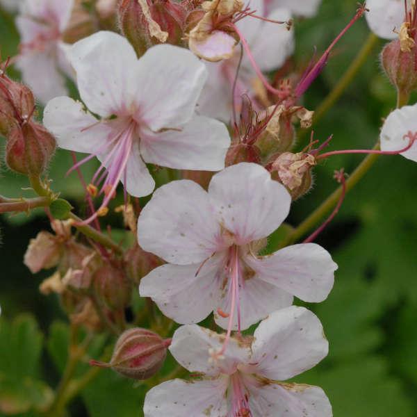 2015 - <i>Geranium cantabrigiense</i> 'Biokovo'
