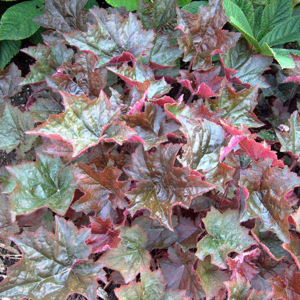 1991 - <i>Heuchera micanthra</i> 'Palace Purple'