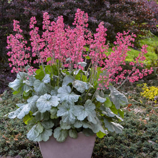 DOLCE® 'Spearmint' <em>Heuchera</em>