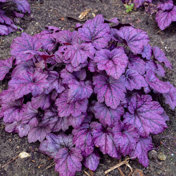 Photo Essay Extremely Attractive Foliage Perennial Resource