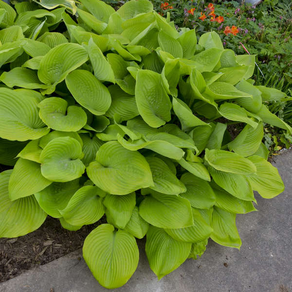 2004 - <em>Hosta</em> 'Sum and Substance'