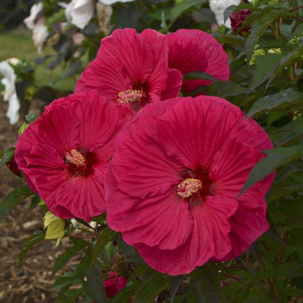 <em>Hibiscus</em> 'Summer in Paradise'