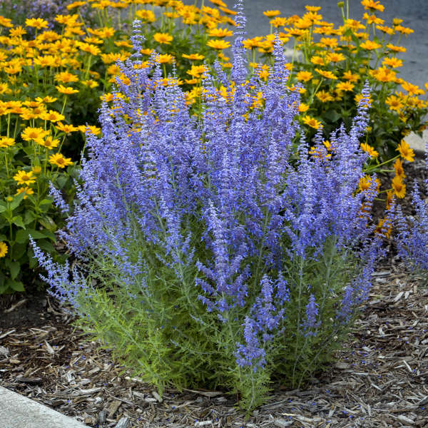 Extremely drought tolerant perennials perennial resource a very extensive list of perennials that once established will survive water shortages and perform nevertheless beat heat and drought with these mightylinksfo