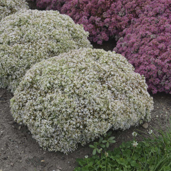 Sedum ROCK 'N GROW® 'Bundle of Joy'
