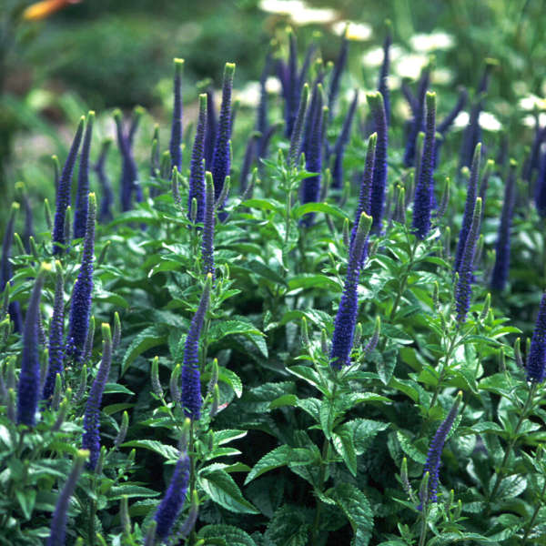 1993 - <i>Veronica</i> 'Sunny Border Blue'