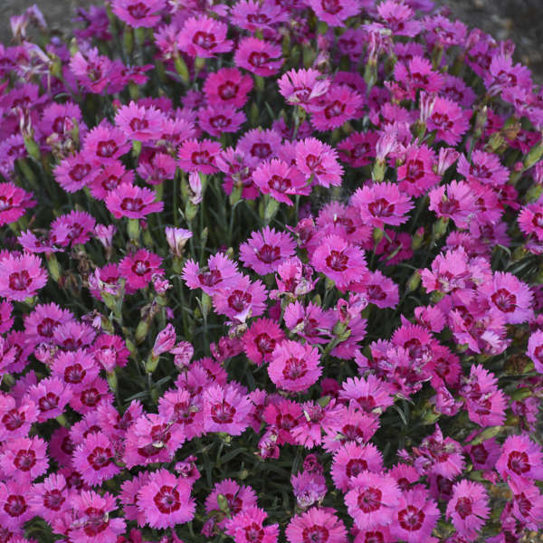 <i>Dianthus</i> 'Paint the Town Fancy'