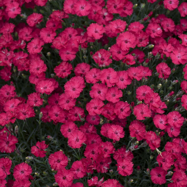 'Paint the Town Red' <em>Dianthus</em>
