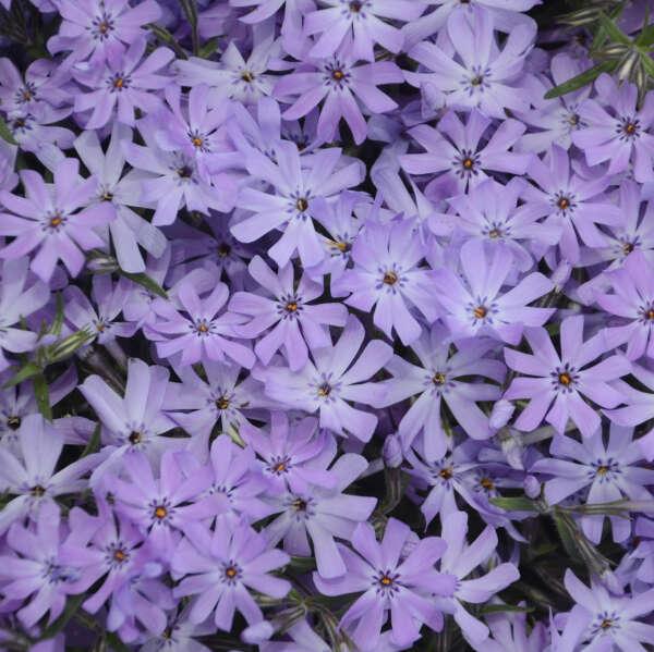 'Bedazzled Lavender' <em>Hybrid Spring Phlox</em>