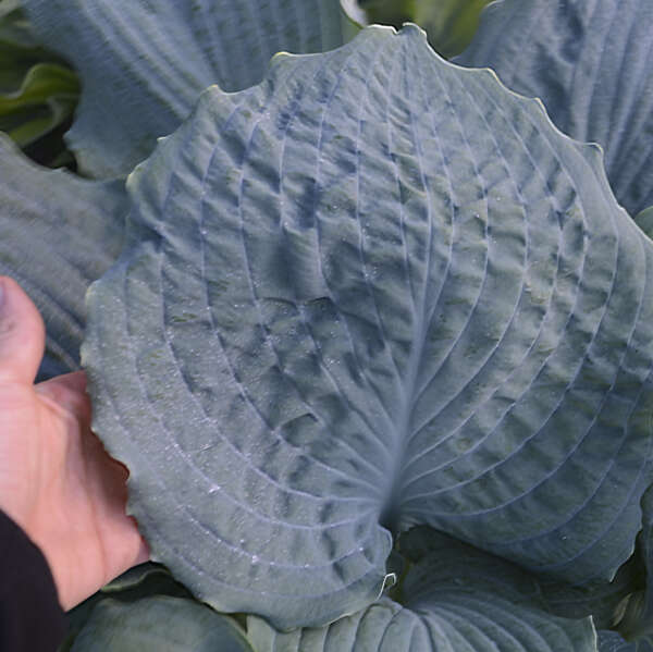 SHADOWLAND® 'Diamond Lake' <em>Hosta</em>