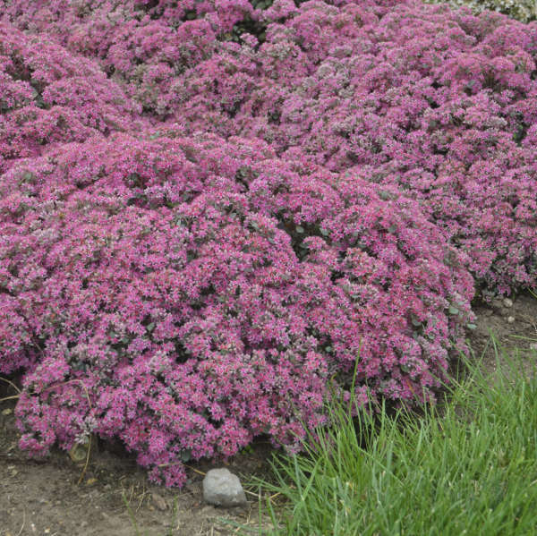 <em>Sedum</em> ROCK 'N GROW® 'Popstar'