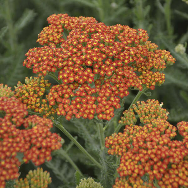 'Sassy Summer Sunset' <em>Achillea</em>