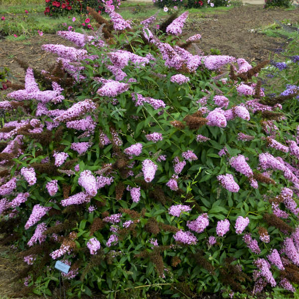 <i>Buddleia</i> MONARCH® 'Princess Pink'