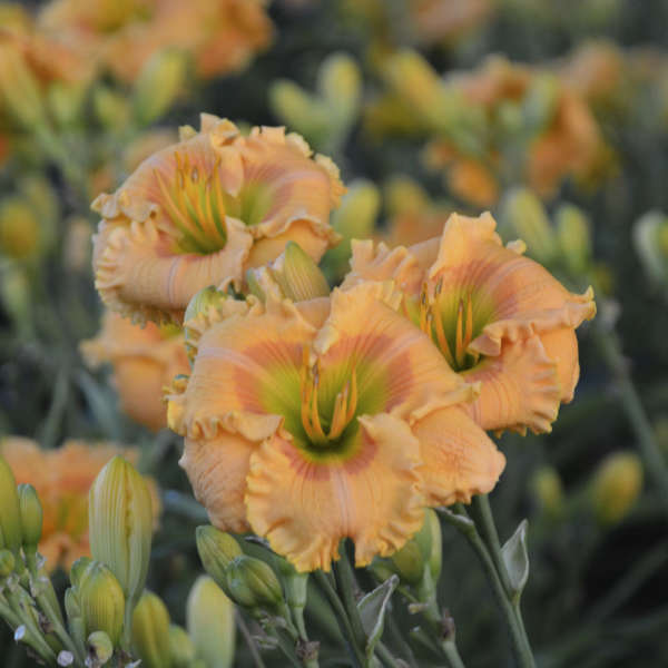 <em>Hemerocallis</em> RAINBOW RHYTHM® 'Orange Smoothie'