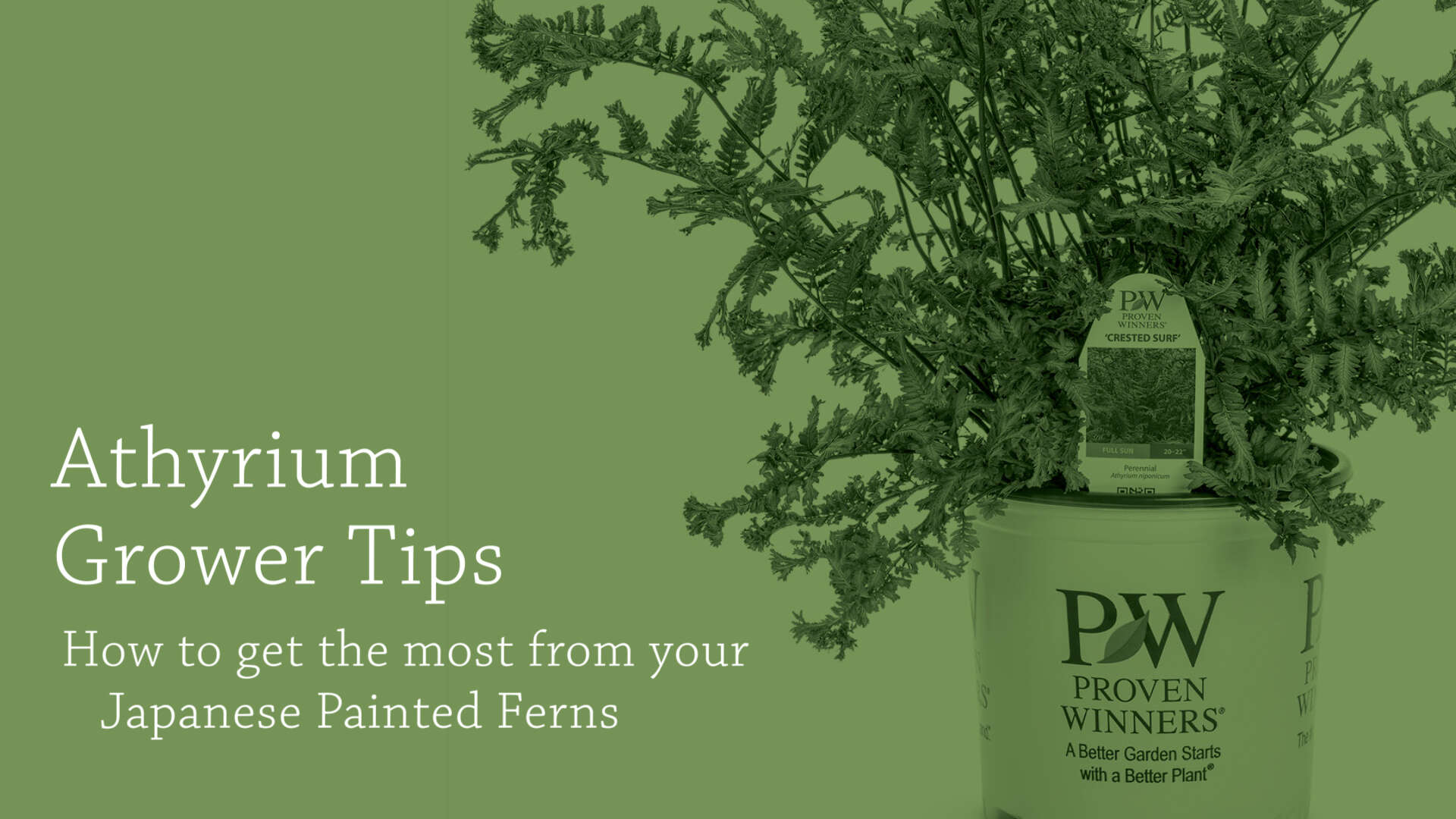 Japanese Painted Fern Grower Tips