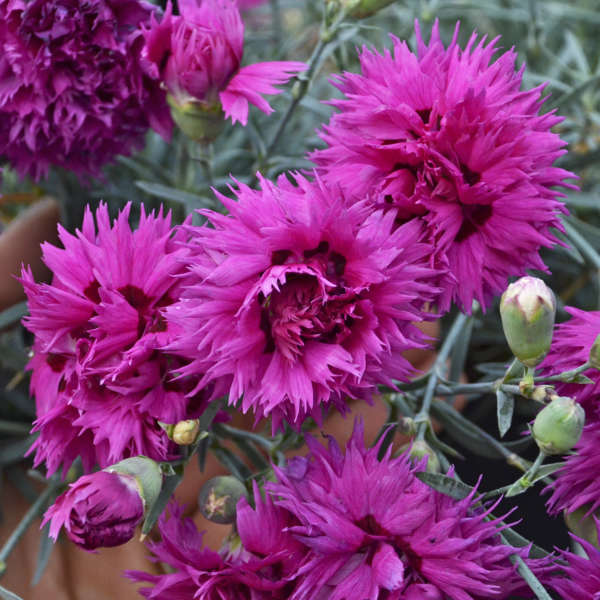 <em>Dianthus</em> FRUIT PUNCH® 'Spiked Punch'