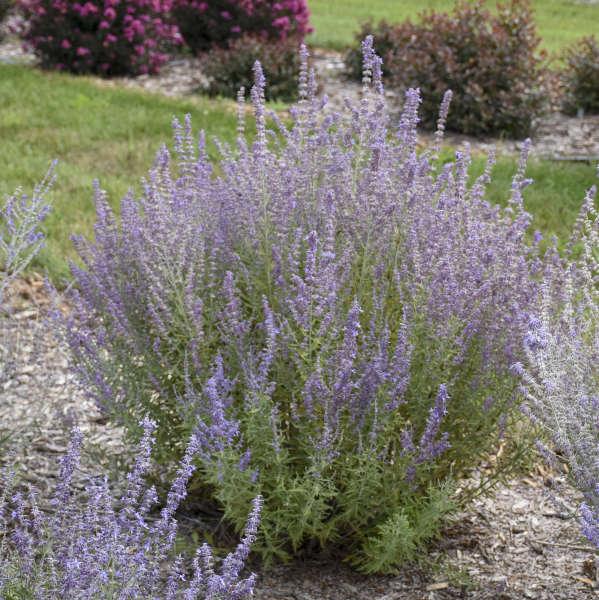 'Sage Advice' <em>Perovskia atriplicifolia</em>