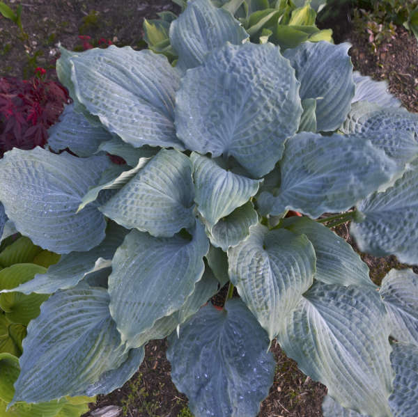 Hosta SHADOWLAND® 'Diamond Lake'