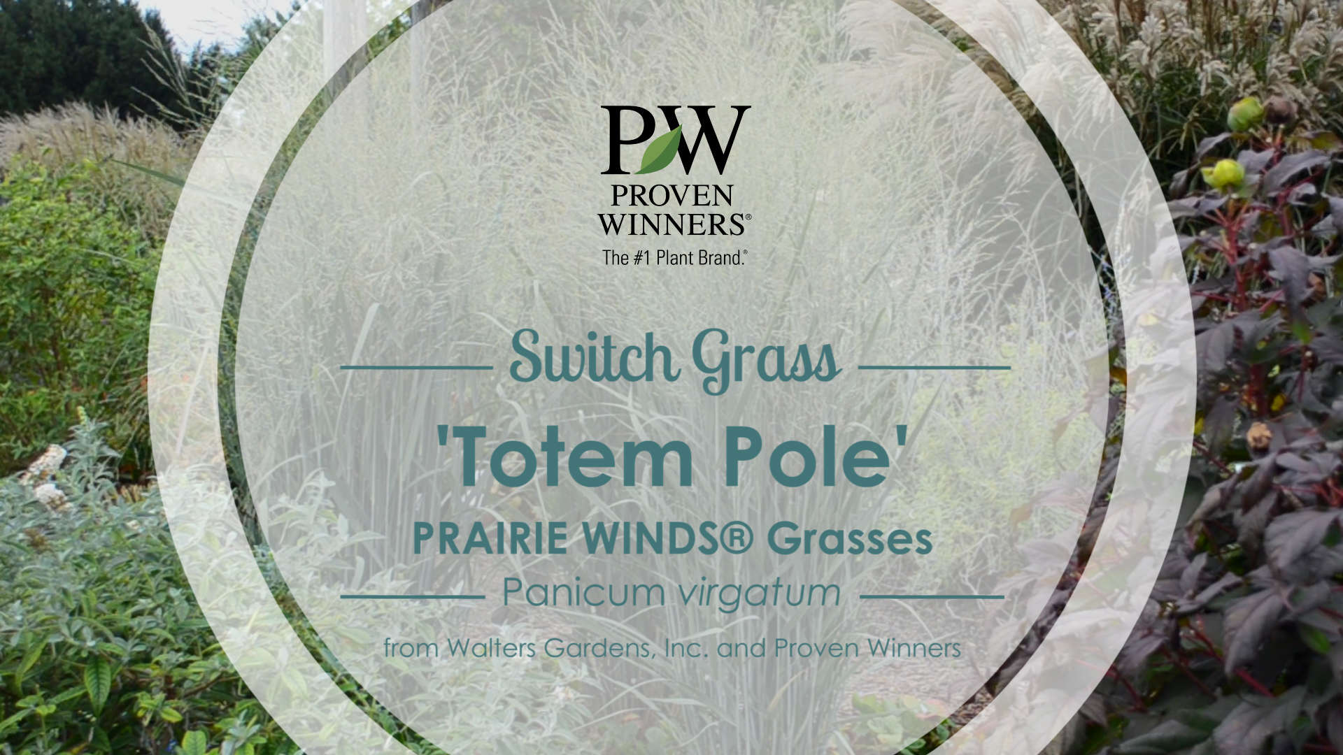 Panicum 'Totem Pole' Switch Grass