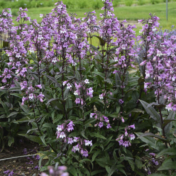 <em>Penstemon</em> 'Midnight Masquerade'