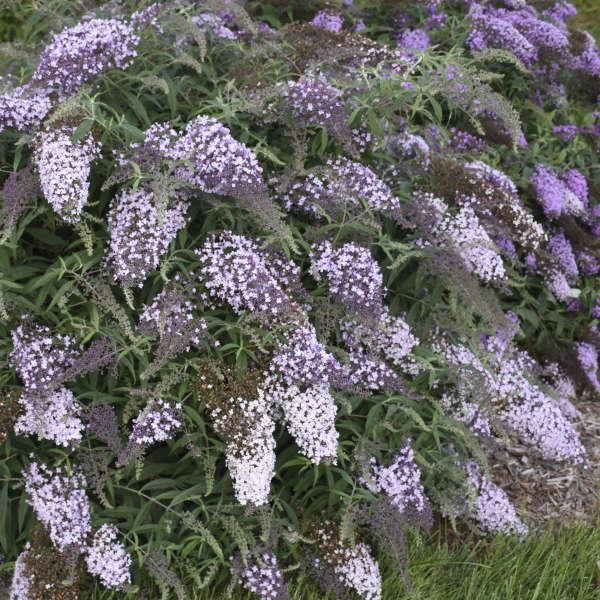 <i>Buddleia</i> 'Lilac Cascade'